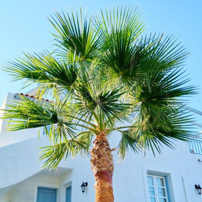 Palm Care Service by Gato Lawn and Pest
