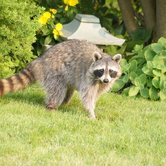 Wildlife Removal Services by Gato Guard Lawn and Pest